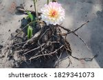 A Delicate Dahlia Flower With...