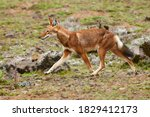 Ethiopian Wolf  Canis Simensis  ...