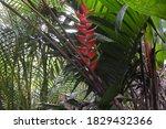 Heliconia Bihai Flower In Costa ...