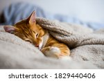 The Ginger Cat Sleeps In A...