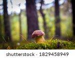Royal Cep Mushroom Grows In...