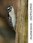 Small photo of A female Downy Woodpecker is clinging to the trunk of a dead tree. Lynde Shores Conservation Area, Whitby, Ontario, Canada.