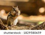 Siberian Chipmunk Or Common...