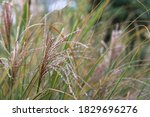 The Ornamental Grass Plume Is...