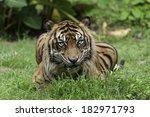 ferocious sumatran tiger. | Shutterstock . vector #182971793