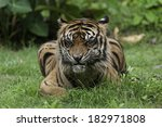sumatran tiger on sunday... | Shutterstock . vector #182971808