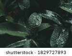 Green Leaves With Raindrops On...
