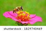 Bee Flower Pollen Pollinate...