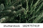 Dark Green Prickly Branches Of...