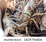 Closeup Of Caught Lobster In...