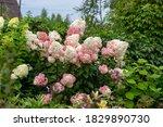 Hydrangea Paniculata Vanille...