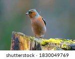The Common Chaffinch  Fringill...