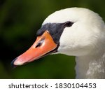 The Head Of A White Swan