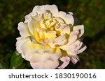 Yellow Rose Flowerhead Close Up