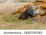 Crested porcupine walking over...