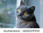 Portrait Of Cat Of British...