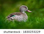 Cape Teal  Anas Capensis ...
