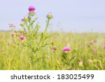 Dosage Milk Thistle Growing On...