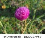 Purple Carduus Acanthoides Or...