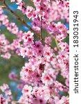 sakura flowers blooming.... | Shutterstock . vector #183031943