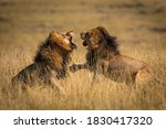 Two Lions Young Males Intend To ...