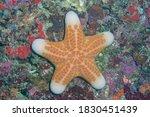 Granulated Sea Star  Big Plated ...