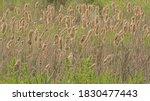 Flowering Bullrush Field With...