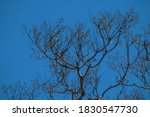 Jacaranda Tree In Early Spring...