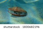 Bivalve Mollusc Smooth Clam ...