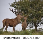 Red Deer Stag With A Small Hind.