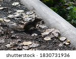 Chipmunk On A Pebble Path With...