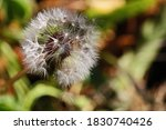 Close View Of Fluffy Dandelion...