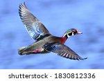 Male Wood Duck Drake  Aix...