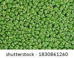 Common Duckweed Or Lemna...