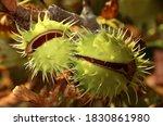 Conker Or Chestnut Tree Fruit