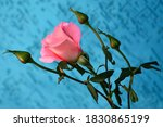 A Delicate Pink Rose Flower An...
