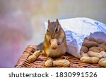 Adorable Chipmunk Nibbles On A...