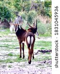Young Sable  Antelope In...