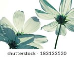 White Colored Cosmos Flowers
