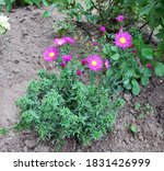 Bushy Aster Blooms In The...