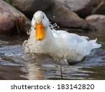 White Duck Splashing Near Rock...