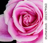 A Pink Rose Isolated On Black...