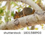 Red Squirrel Perched An Resting ...