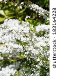 Small photo of white Spiraea thunbergii