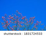 Pink Flower  Chorisia Speciosa  ...