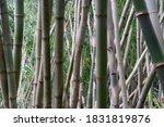 bamboo tree background growing... | Shutterstock . vector #1831819876