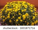 Huge Bush Of Yellow...