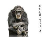 Chimpanzee   Simia Troglodytes...