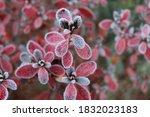 Frozen Azalea With Red Leaves...