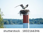 Small photo of Gluttonous Seagull in search of food sat on someone else's nest